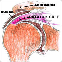 Normal Subacromial Bursa and rotator cuff
